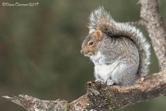 ecureuil-gris-_mg_3914