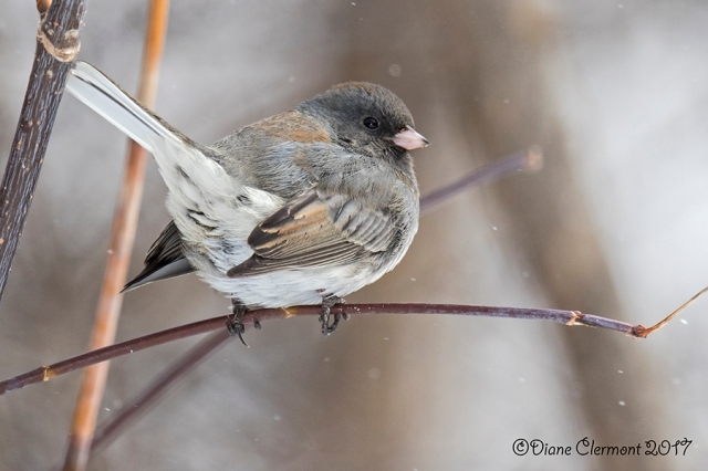 junco-ardoise-_mg_4016