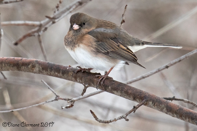 junco-ardoise-_mg_4034