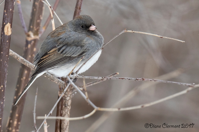 junco-ardoise-_mg_4087